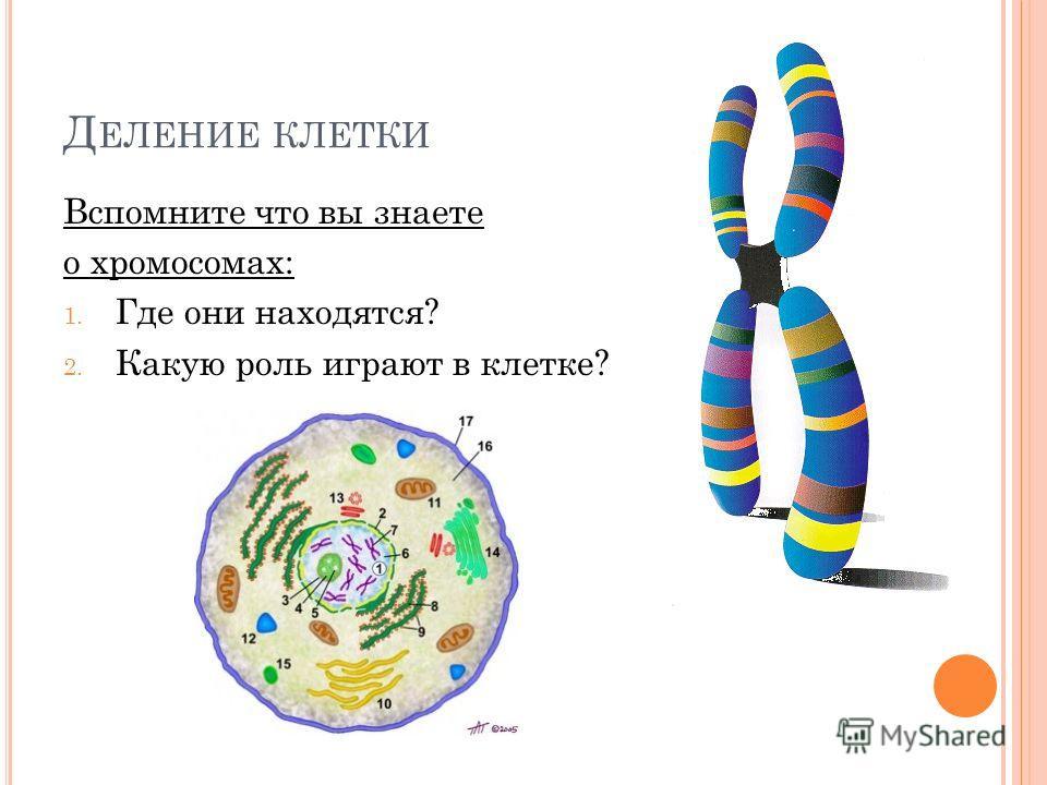 Д ЕЛЕНИЕ КЛЕТКИ Вспомните что вы знаете о хромосомах: 1. Где они находятся? 2. Какую роль играют в клетке?
