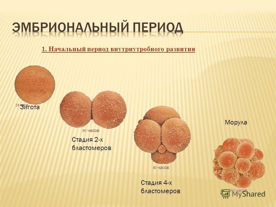 Зигота Стадия 2-х бластомеров Стадия 4-х бластомеров Морула 1. Начальный период внутриутробного развития