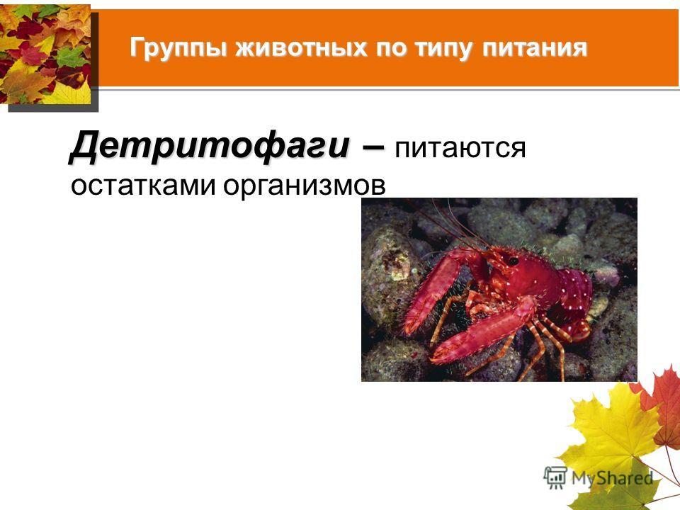 Группы животных по типу питания Детритофаги – Детритофаги – питаются остатками организмов