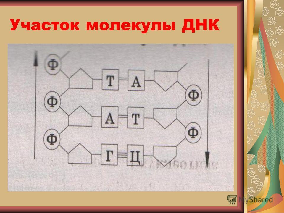 Участок молекулы ДНК