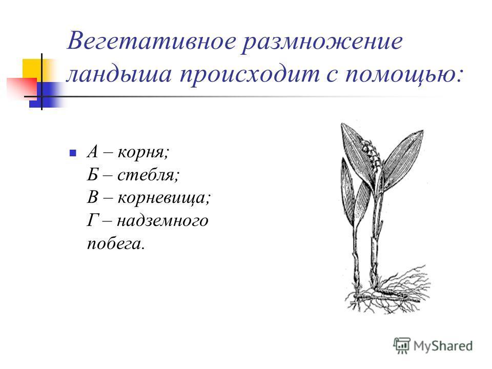 Вегетативное размножение ландыша происходит с помощью: А – корня; Б – стебля; В – корневища; Г – надземного побега.