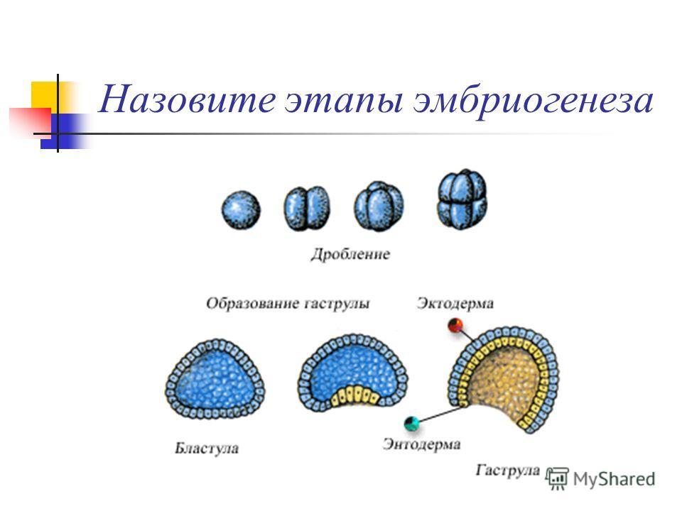 Назовите этапы эмбриогенеза