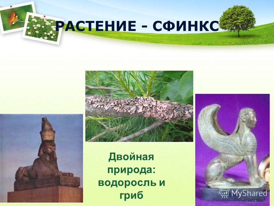 Двойная природа: водоросль и гриб