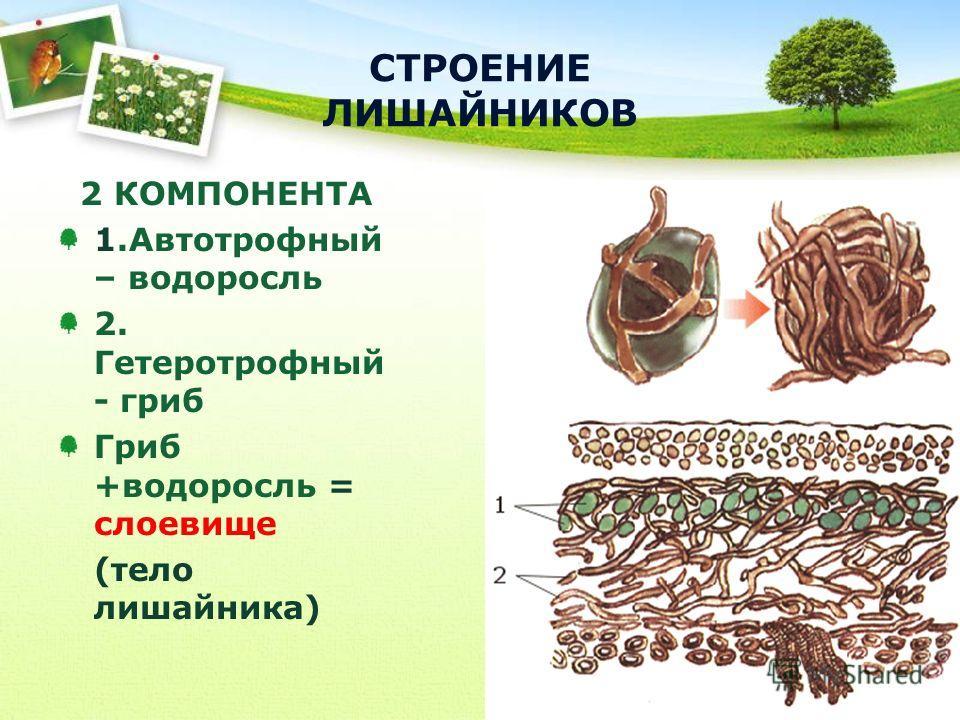 2 КОМПОНЕНТА 1. Автотрофный – водоросль 2. Гетеротрофный - гриб Гриб +водоросль = слоевище (тело лишайника)