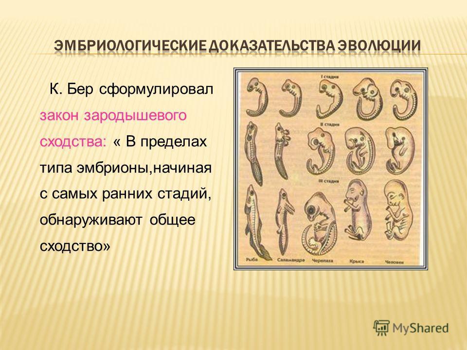 К. Бер сформулировал закон зародышевого сходства: « В пределах типа эмбрионы,начиная с самых ранних стадий, обнаруживают общее сходство»