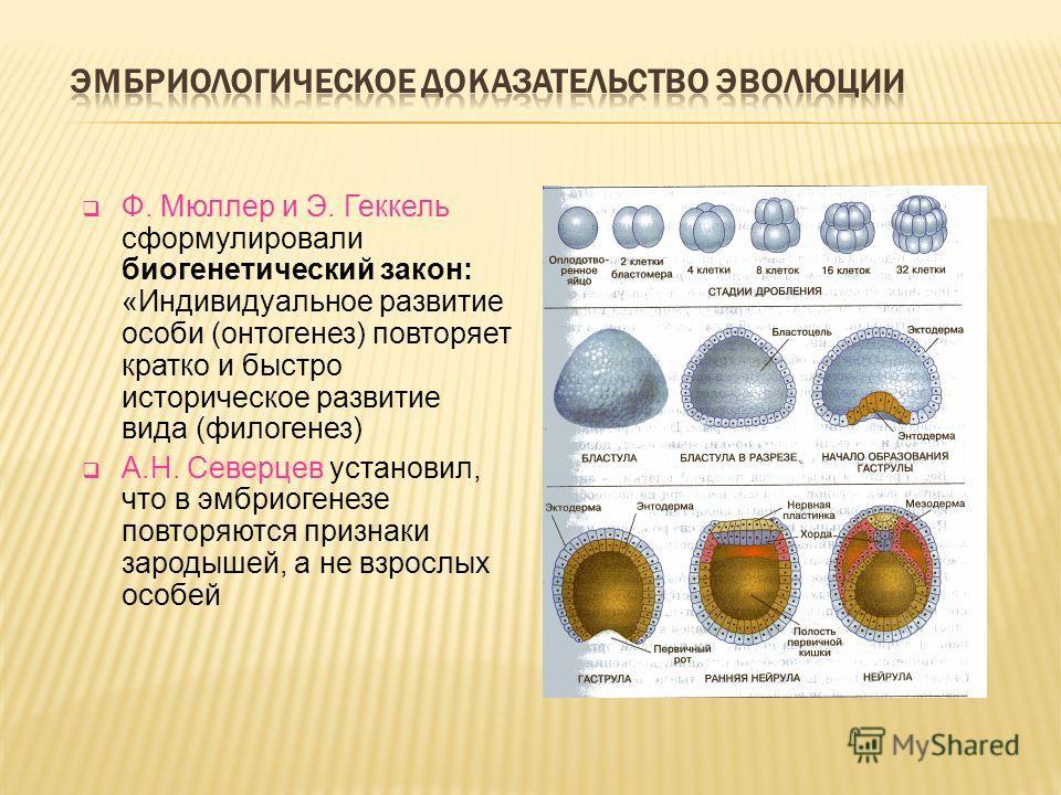 Ф. Мюллер и Э. Геккель сформулировали биогенетический закон: «Индивидуальное развитие особи (онтогенез) повторяет кратко и быстро историческое развитие вида (филогенез) А.Н. Северцев установил, что в эмбриогенезе повторяются признаки зародышей, а не