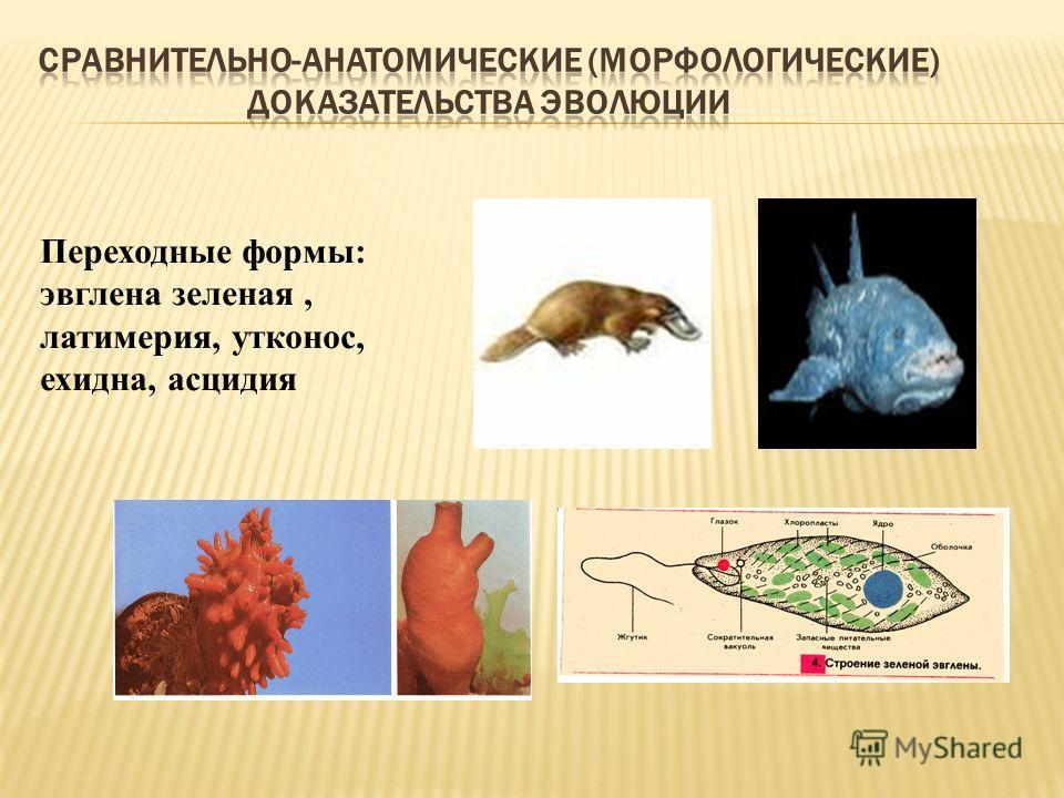 Переходные формы: эвглена зеленая, латимерия, утконос, ехидна, асцидия