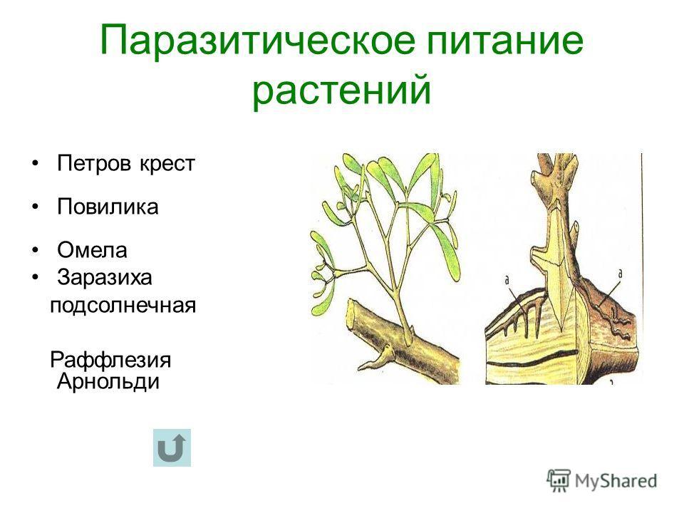 Паразитическое питание растений Петров крест Повилика Омела Заразиха подсолнечная Раффлезия Арнольди