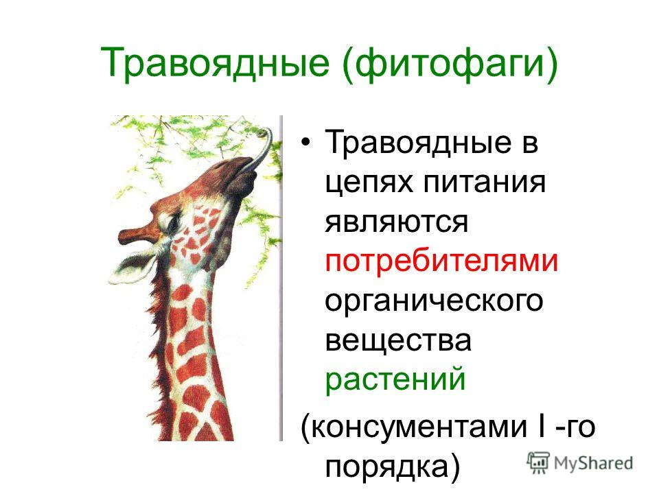 Травоядные (фитофаги) Травоядные в цепях питания являются потребителями органического вещества растений (консументами I -го порядка)