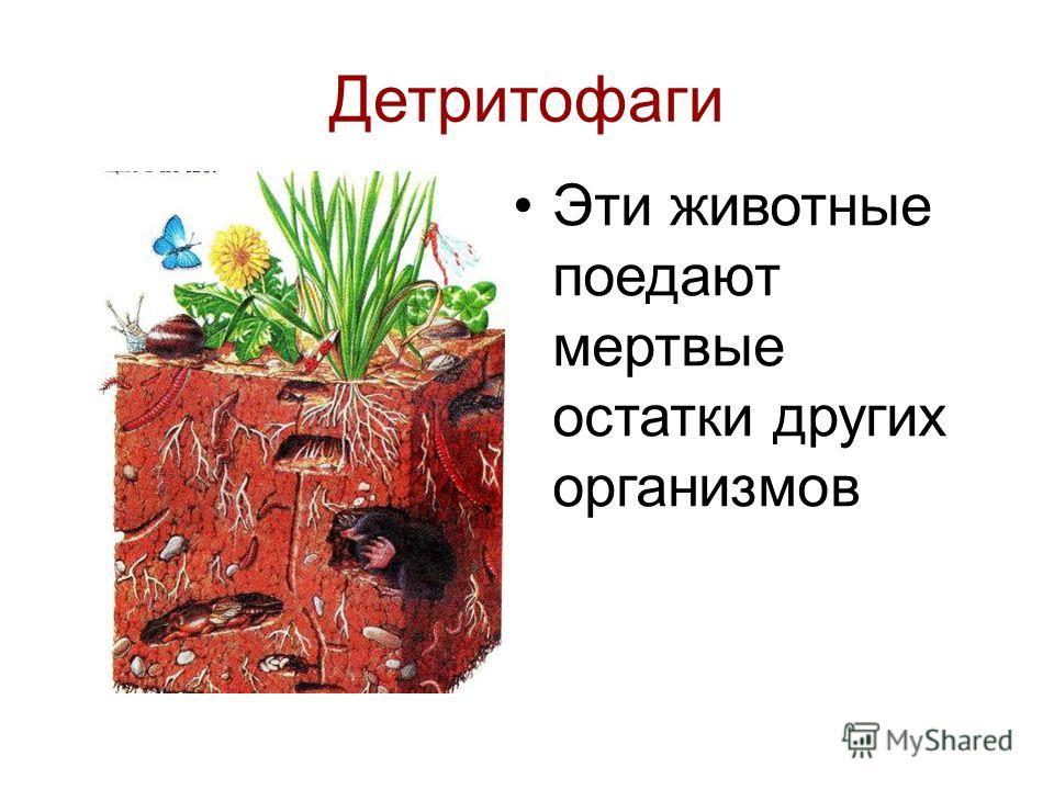 Детритофаги Эти животные поедают мертвые остатки других организмов