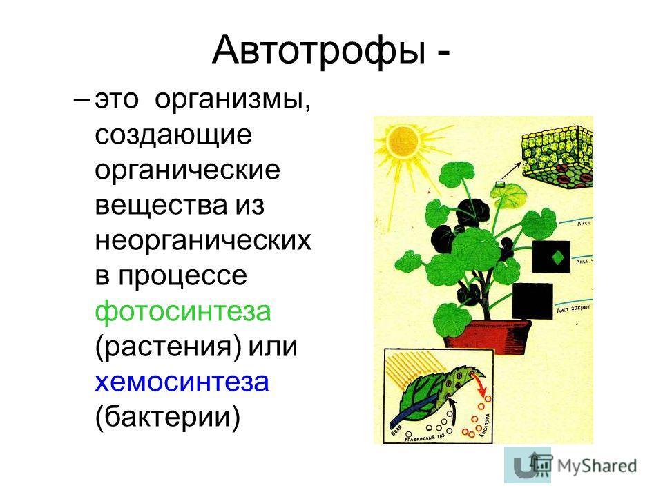 Автотрофы - –это организмы, создающие органические вещества из неорганических в процессе фотосинтеза (растения) или хемосинтеза (бактерии)