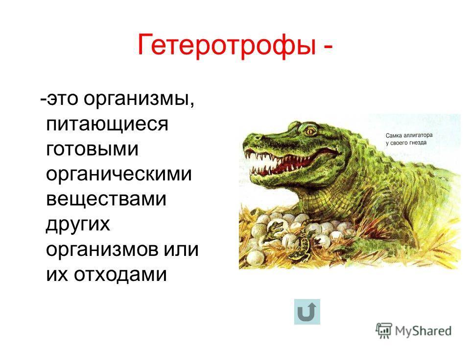 Гетеротрофы - -это организмы, питающиеся готовыми органическими веществами других организмов или их отходами