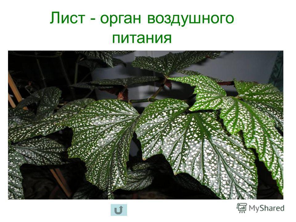Лист - орган воздушного питания
