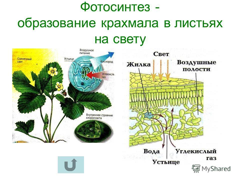 Фотосинтез образование крахмала в