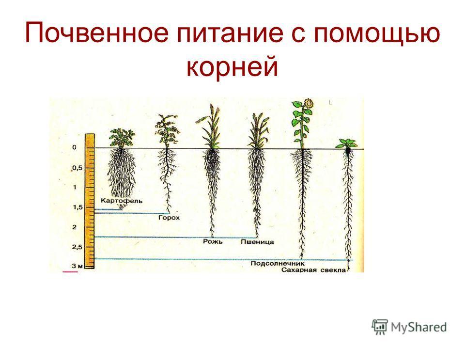 Почвенное питание с помощью корней
