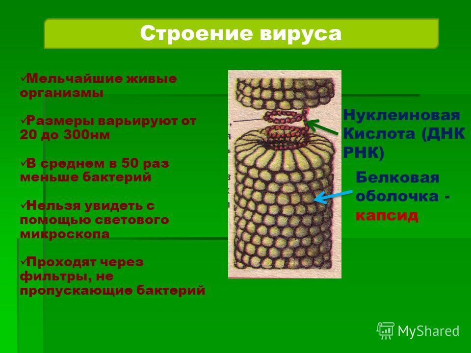 Строение вируса Нуклеиновая Кислота (ДНК РНК) Белковая оболочка - капсид Мельчайшие живые организмы Размеры варьируют от 20 до 300 нм В среднем в 50 раз меньше бактерий Нельзя увидеть с помощью светового микроскопа Проходят через фильтры, не пропуска