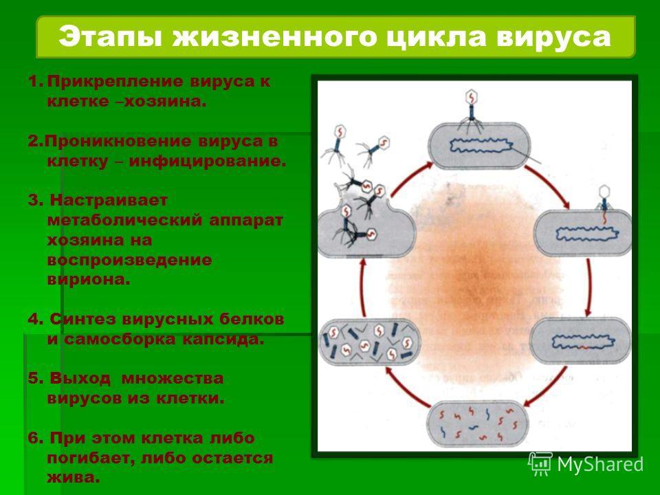 Этапы жизненного цикла вируса 1. Прикрепление вируса к клетке –хозяина. 2. Проникновение вируса в клетку – инфицирование. 3. Настраивает метаболический аппарат хозяина на воспроизведение вириона. 4. Синтез вирусных белков и самосборка капсида. 5. Вых