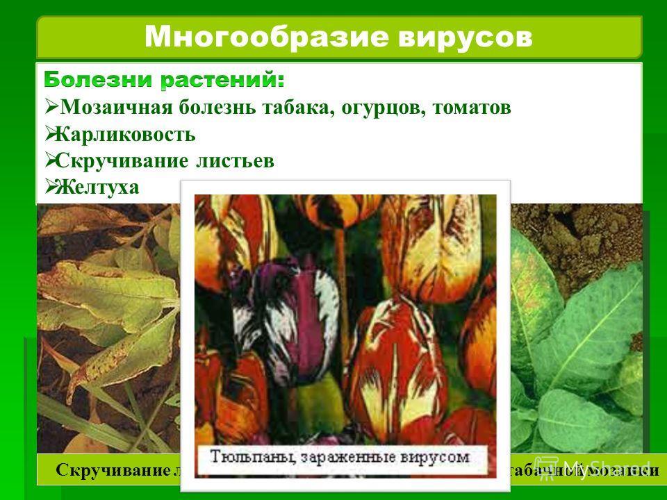 Многообразие вирусов Скручивание листьев Вирус табачной мозаики