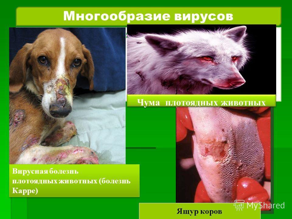 Многообразие вирусов Ящур коров Вирусная болезнь плотоядных животных (болезнь Карре) Чума плотоядных животных