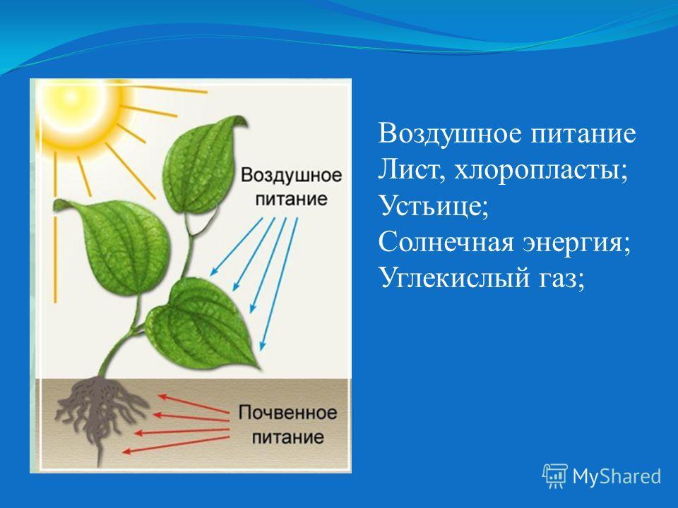 Воздушное питание Лист, хлоропласты; Устьице; Солнечная энергия; Углекислый газ;