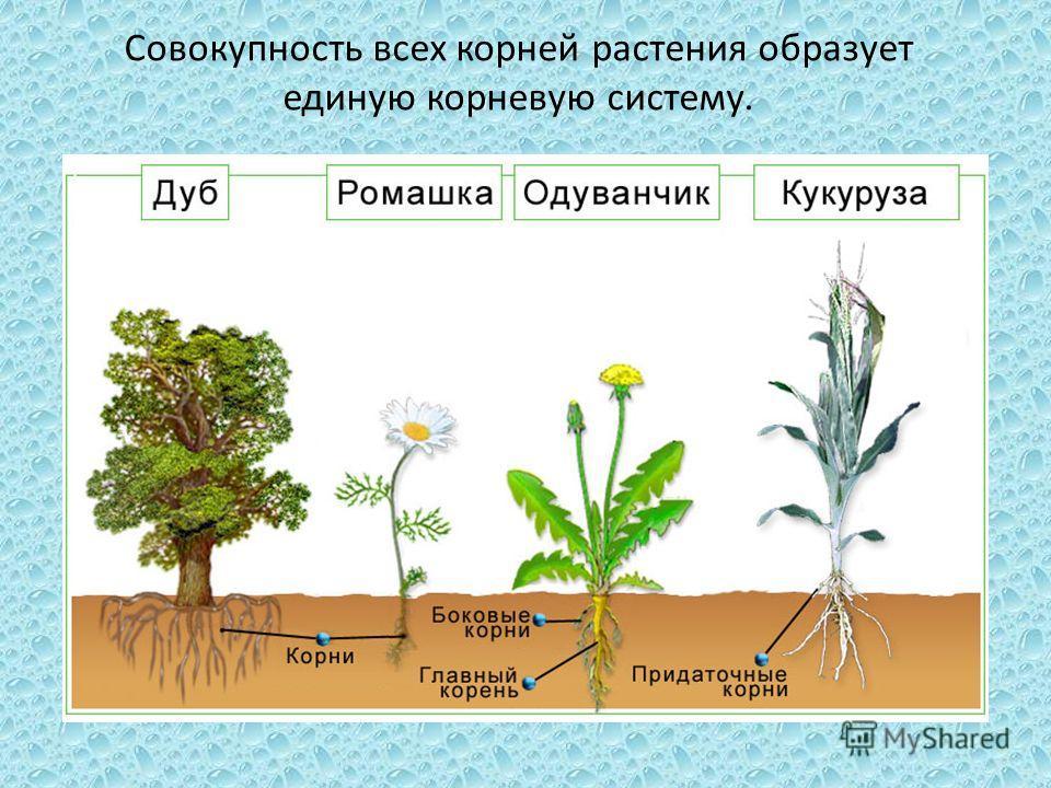 Совокупность всех корней растения образует единую корневую систему.