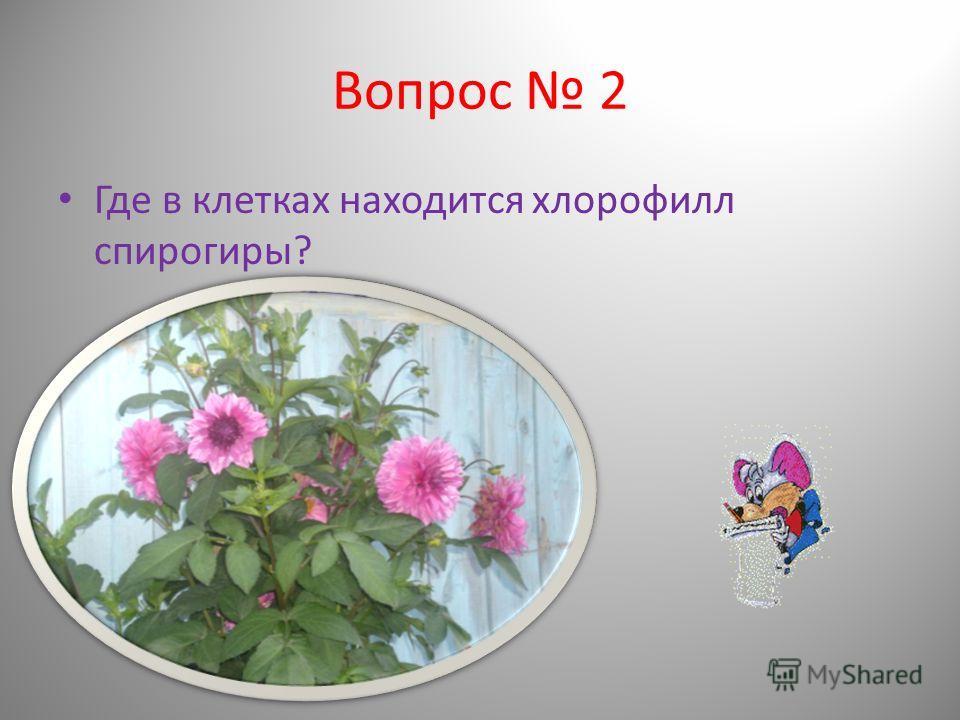 Вопрос 2 Где в клетках находится хлорофилл спирогиры?