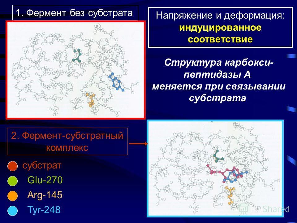 Zn 2+ Структура карбоксипептидазы А - фермента, гидролизующегопептидную связь со стороны С-концевой кислоты
