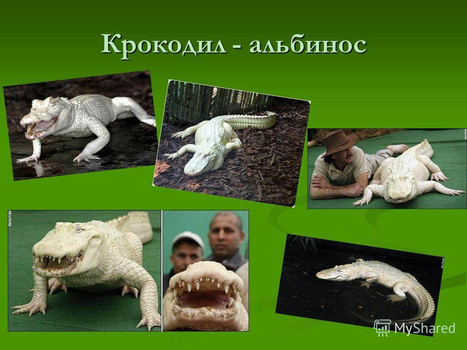 Крокодил - альбинос