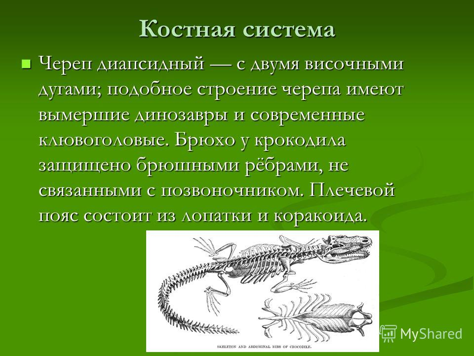 Костная система Череп диапсидный с двумя височными дугами; подобное строение черепа имеют вымершие динозавры и современные клювоголовые. Брюхо у крокодила защищено брюшными рёбрами, не связанными с позвоночником. Плечевой пояс состоит из лопатки и ко