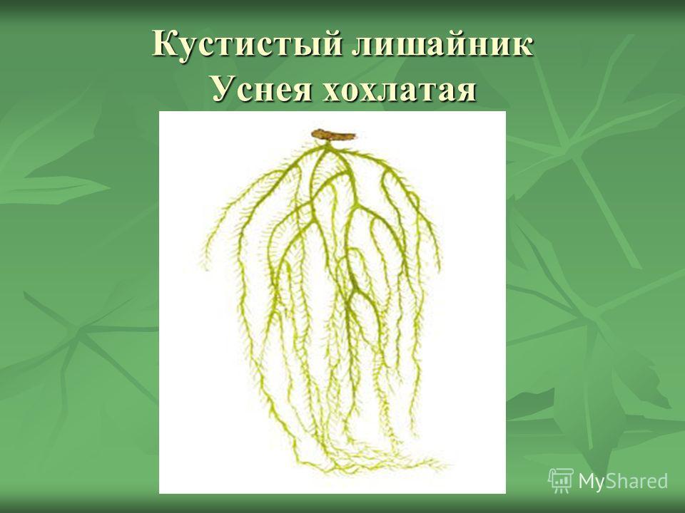 Кустистый лишайник Уснея хохлатая