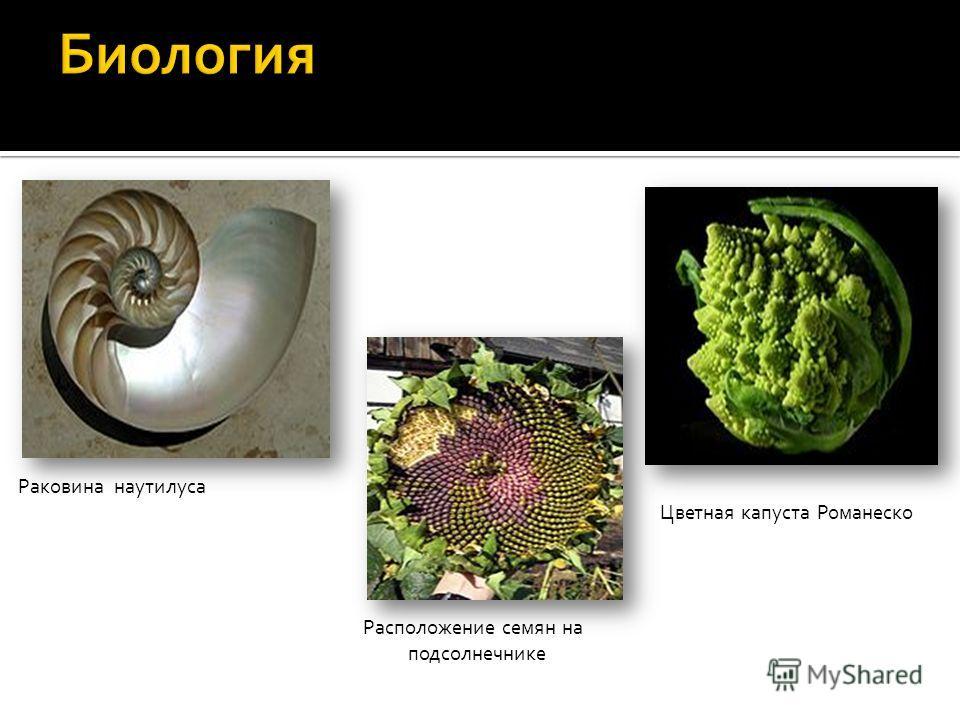 Раковина наутилуса Цветная капуста Романеско Расположение семян на подсолнечнике
