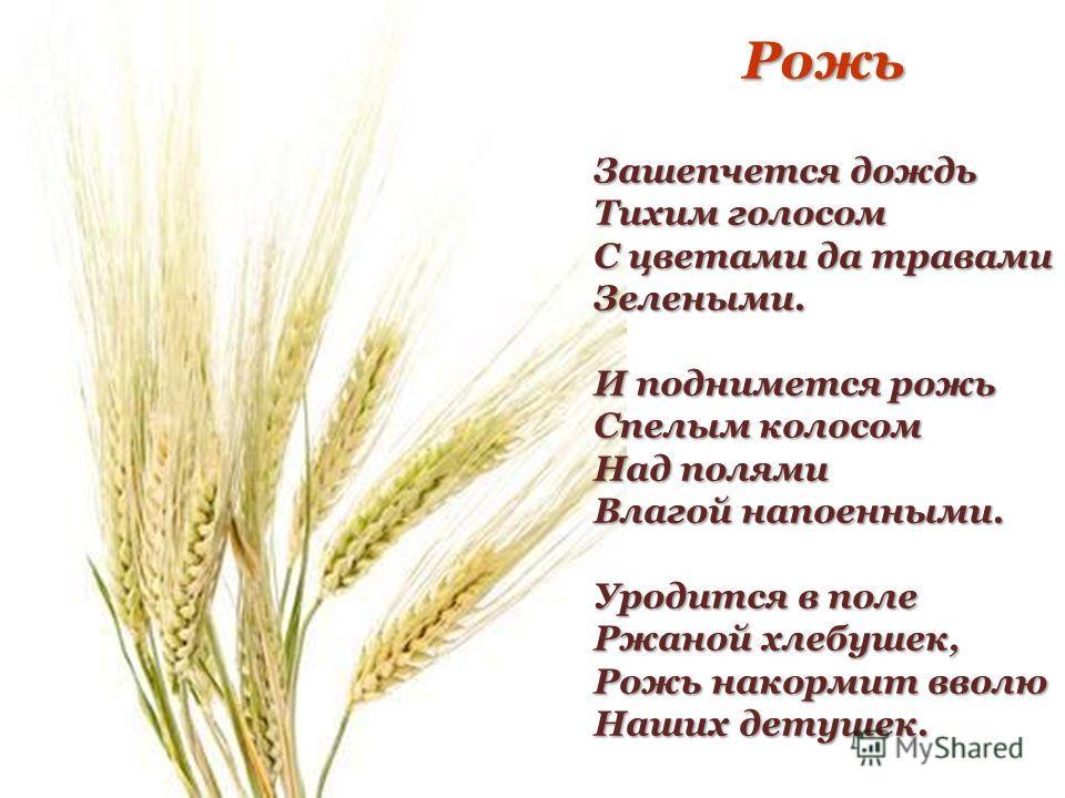 Рожь Зашепчется дождь Тихим голосом С цветами да травами Зелеными. И поднимется рожь Спелым колосом Над полями Влагой напоенными. Уродится в поле Ржаной хлебушек, Рожь накормит вволю Наших детушек.