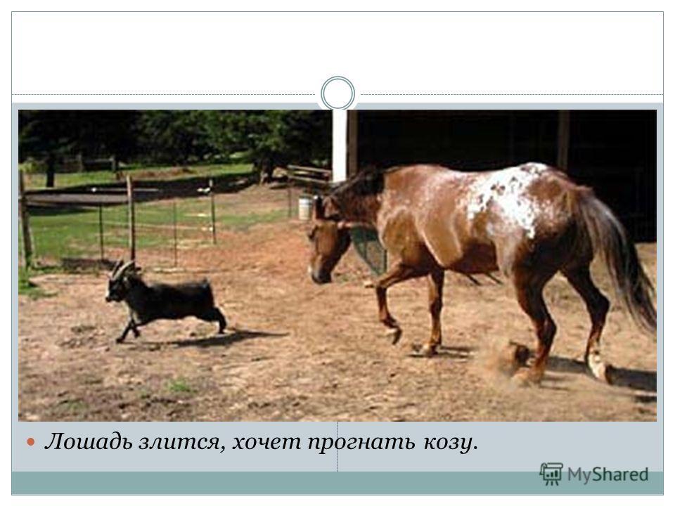 Лошадь злится, хочет прогнать козу.