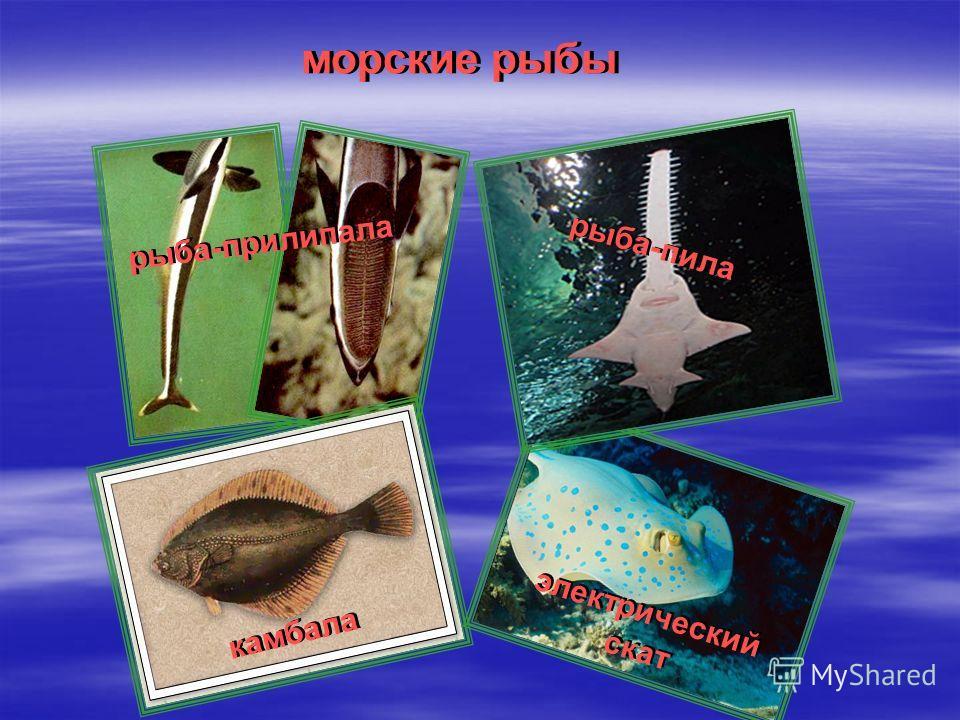 рыба-прилипала рыба-пила камбала электрический скат морские рыбы