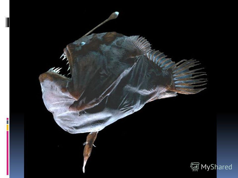 Европейским удильщикам эта рыба названа по способу добычи пищи. Над пастью у нее свисает ус и не один, а три, который привлекает внимание мелких рыб, как только они подплыли ближе к пасти, стоит открыть рот и съесть. Причем ус дает команду на открыти