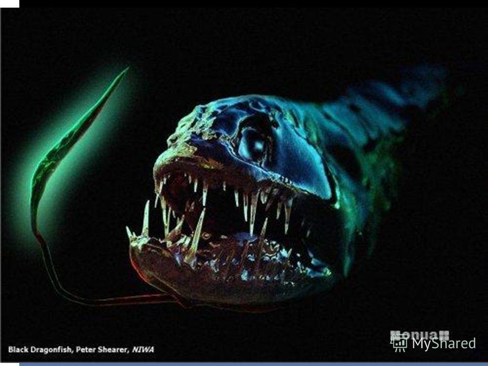 Индикант (Рыба-дракон) Рыба-дракон на самом деле носит название Идиакант (Idiacanthus). Вид у нее, мягко говоря, устрашающий, но только у самок. Самки этой рыбы обладают длинным (до 40 см), невероятно гибким телом. Зубы настолько длинные, что не позв