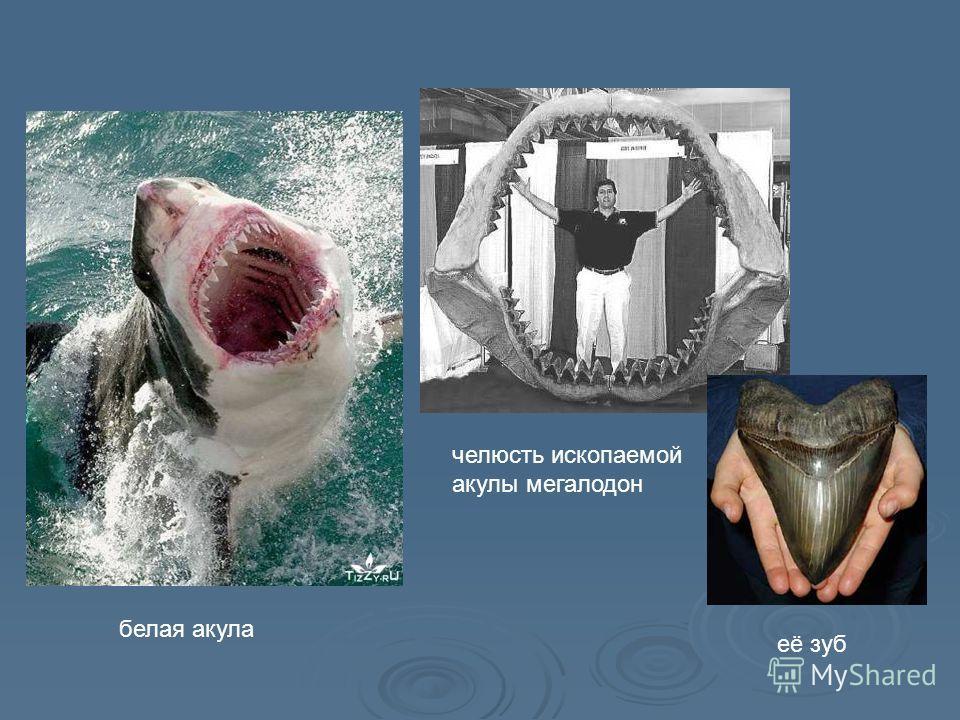 белая акула челюсть ископаемой акулы мегалодон её зуб