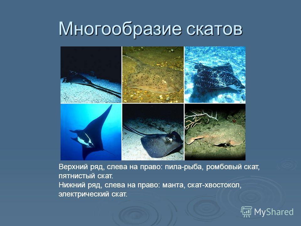 Многообразие скатов Верхний ряд, слева на право: пила-рыба, ромбовый скат, пятнистый скат. Нижний ряд, слева на право: манта, скат-хвостокол, электрический скат.
