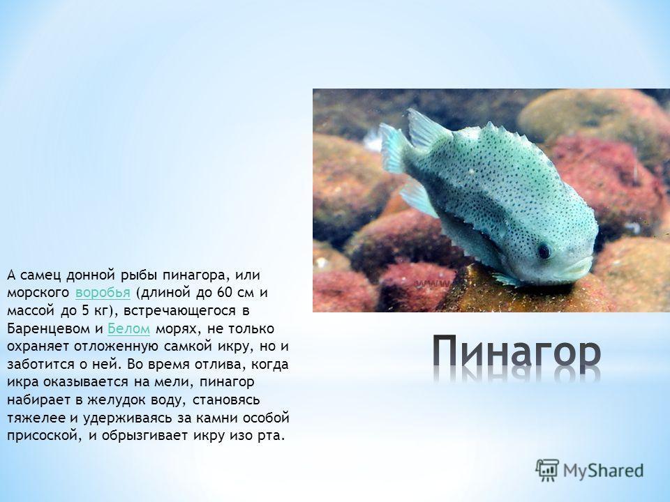 А самец донной рыбы пинагора, или морского воробья (длиной до 60 см и массой до 5 кг), встречающегося в Баренцевом и Белом морях, не только охраняет отложенную самкой икру, но и заботится о ней. Во время отлива, когда икра оказывается на мели, пинаго