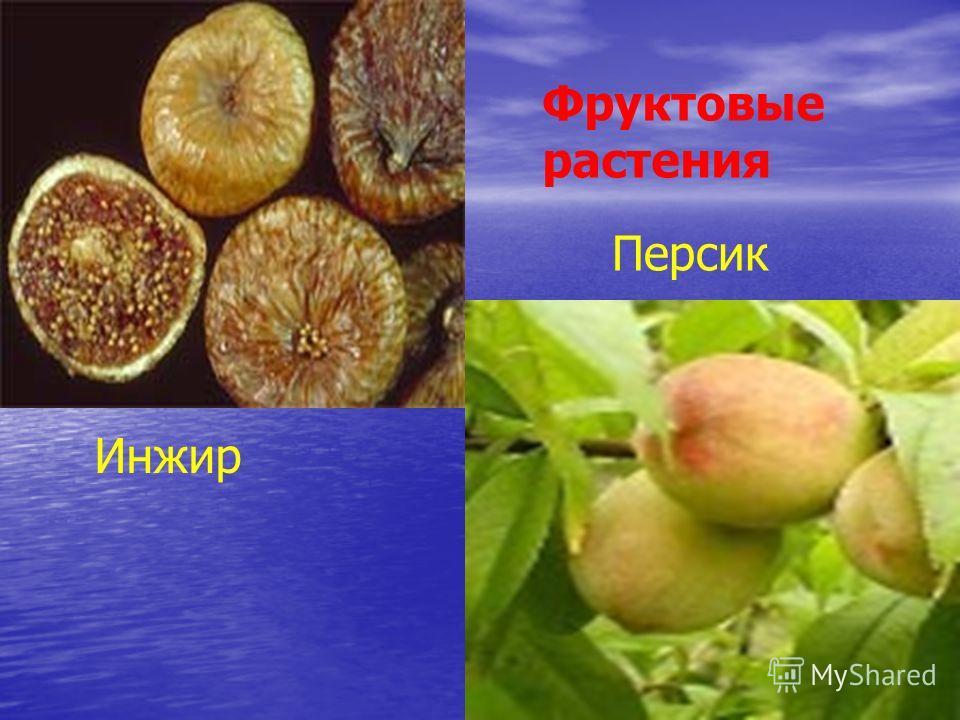 Фруктовые растения Инжир Персик