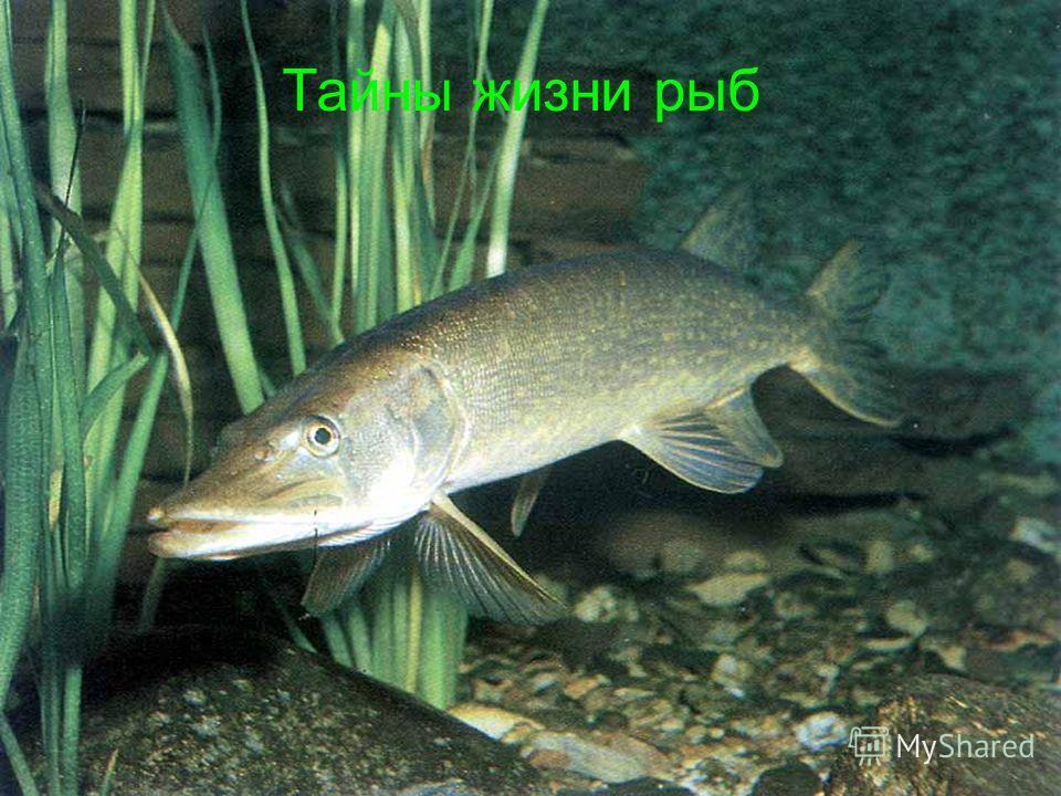 Тайны жизни рыб