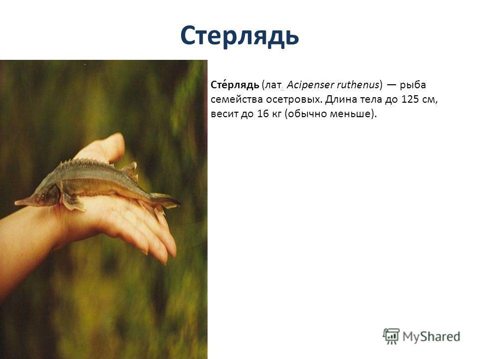 Стерлядь Сте́рлядь (лат. Acipenser ruthenus) рыба семейства осетровых. Длина тела до 125 см, весит до 16 кг (обычно меньше)..