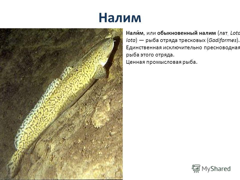 Налим Нали́м, или обыкновенный налим (лат. Lota lota) рыба отряда тресковых (Gadiformes). Единственная исключительно пресноводная рыба этого отряда.. Ценная промысловая рыба.