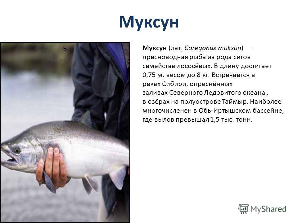 Муксун ь Муксун (лат. Coregonus muksun) пресноводная рыба из рода сигов семейства лососёвых. В длину достигает 0,75 м, весом до 8 кг. Встречается в реках Сибири, опреснённых заливах Северного Ледовитого океана, в озёрах на полуострове Таймыр. Наиболе