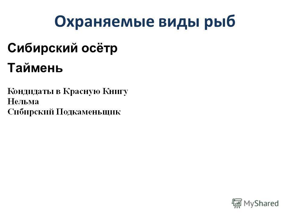 Охраняемые виды рыб Сибирский осётр Таймень