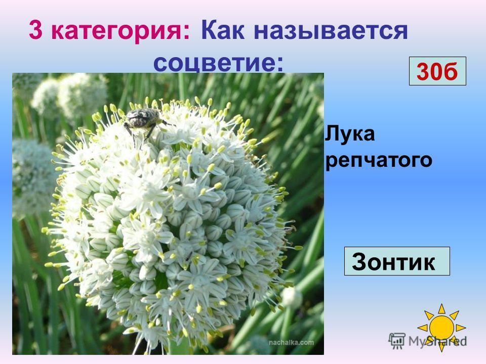 Капусты белокочанной 3 категория: Как называется соцветие: Кисть 20 б