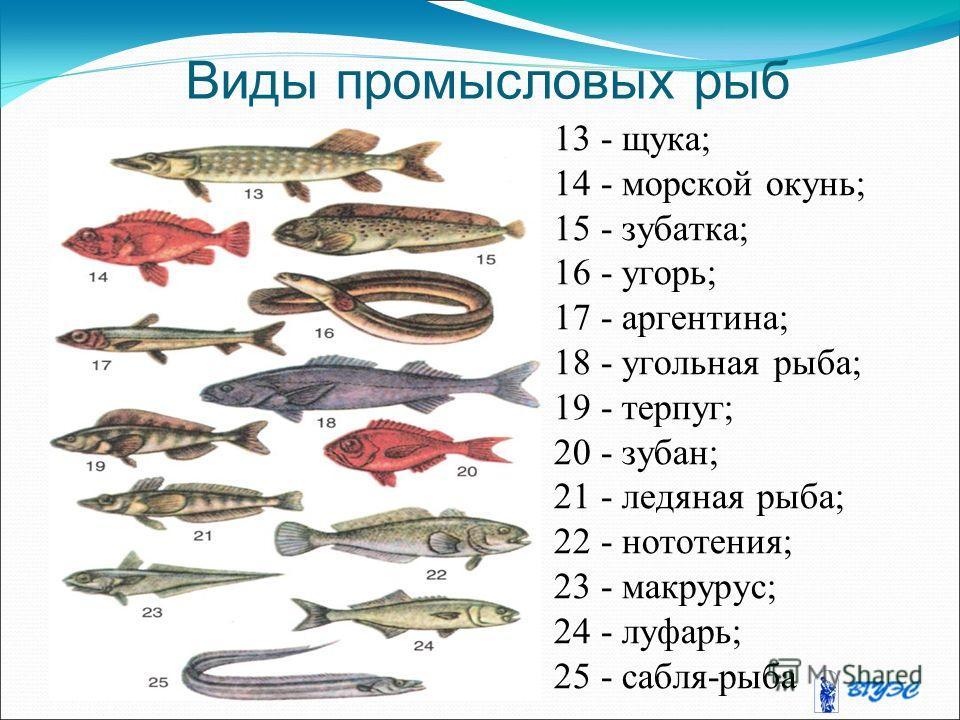 Виды промысловых рыб 13 - щука; 14 - морской окунь; 15 - зубатка; 16 - угорь; 17 - аргентина; 18 - угольная рыба; 19 - терпуг; 20 - зубан; 21 - ледяная рыба; 22 - нототения; 23 - макрурус; 24 - луфарь; 25 - сабля-рыба