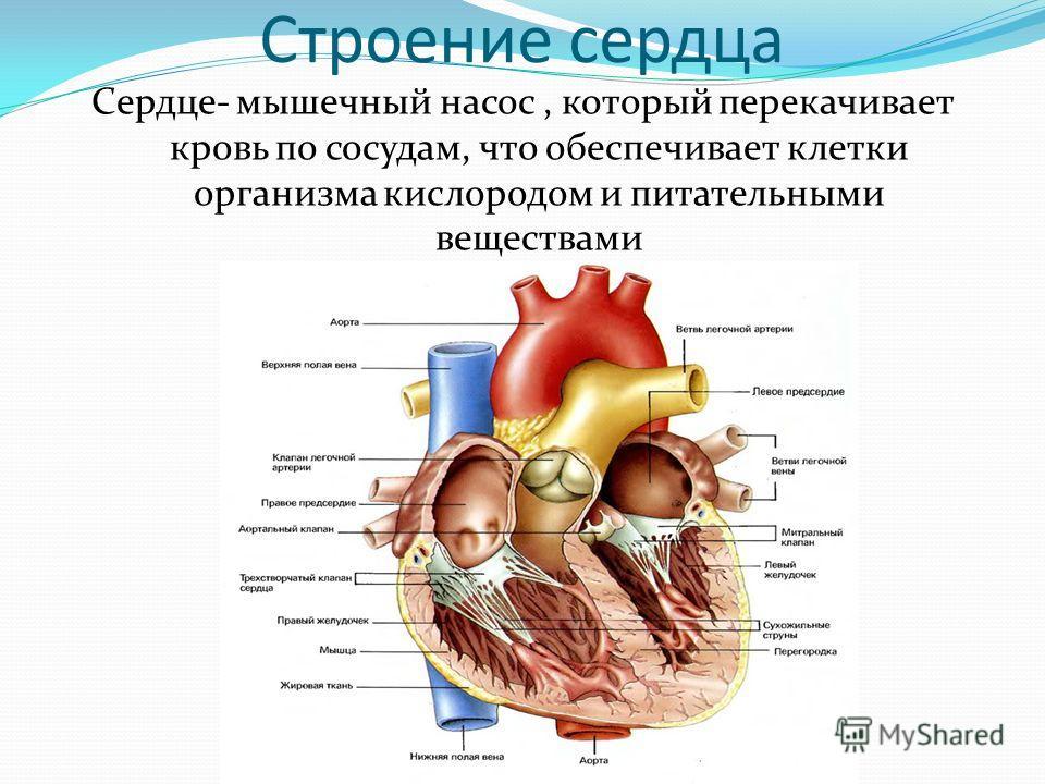Строение сердца Сердце- мышечный насос, который перекачивает кровь по сосудам, что обеспечивает клетки организма кислородом и питательными веществами