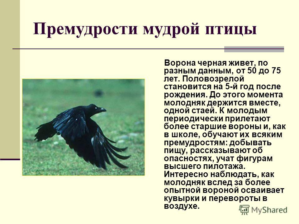 Премудрости мудрой птицы Ворона черная живет, по разным данным, от 50 до 75 лет. Половозрелой становится на 5-й год после рождения. До этого момента молодняк держится вместе, одной стаей. К молодым периодически прилетают более старшие вороны и, как в