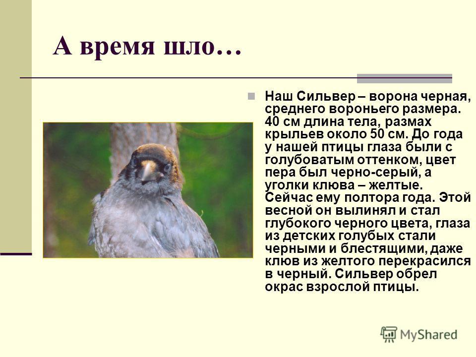 А время шло… Наш Сильвер – ворона черная, среднего вороньего размера. 40 см длина тела, размах крыльев около 50 см. До года у нашей птицы глаза были с голубоватым оттенком, цвет пера был черно-серый, а уголки клюва – желтые. Сейчас ему полтора года.